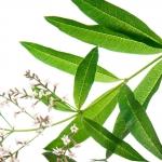 Lemon Verbena Aloysia triphylla