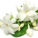 Jasmine Jasminum grandiflorum, Jasminum Sambac