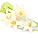 Tuberose Polianthes tuberosa