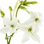 Tabacco blossom Nicotiana alata