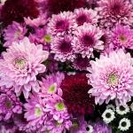 odor of chrysanthemums 图书odour of chrysanthemums 介绍、书评、论坛及推荐.