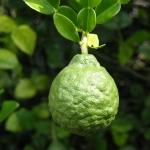 Bergamot Citrus aurantium subsp. bergamia