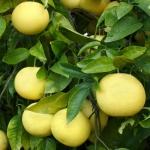 Grapefruit Citrus paradisi