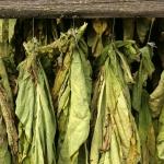 Tobacco Nicotiana tabacum (Solanaceae)