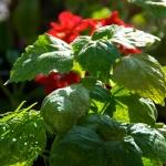 Patchouli Pogostemon cablin, family Lamiaceae