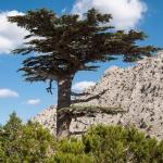 Cedar Cedrus, family Pinaceae.