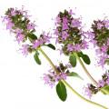 Clary Sage Salvia sclarea (Labiatae)