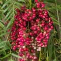 Pink Pepper Schinus molle (Anacardiaceae) 2