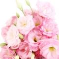 گل رز - ادکلن تام فورد ولوت ارکید لومیر