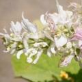 Clary Sage Salvia sclarea (Labiatae) 3