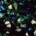 Benzoin Styrax benzoin, Styrax Tonkiniensis (Styracaceae) 3